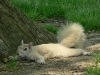 whitesquirrel.jpg